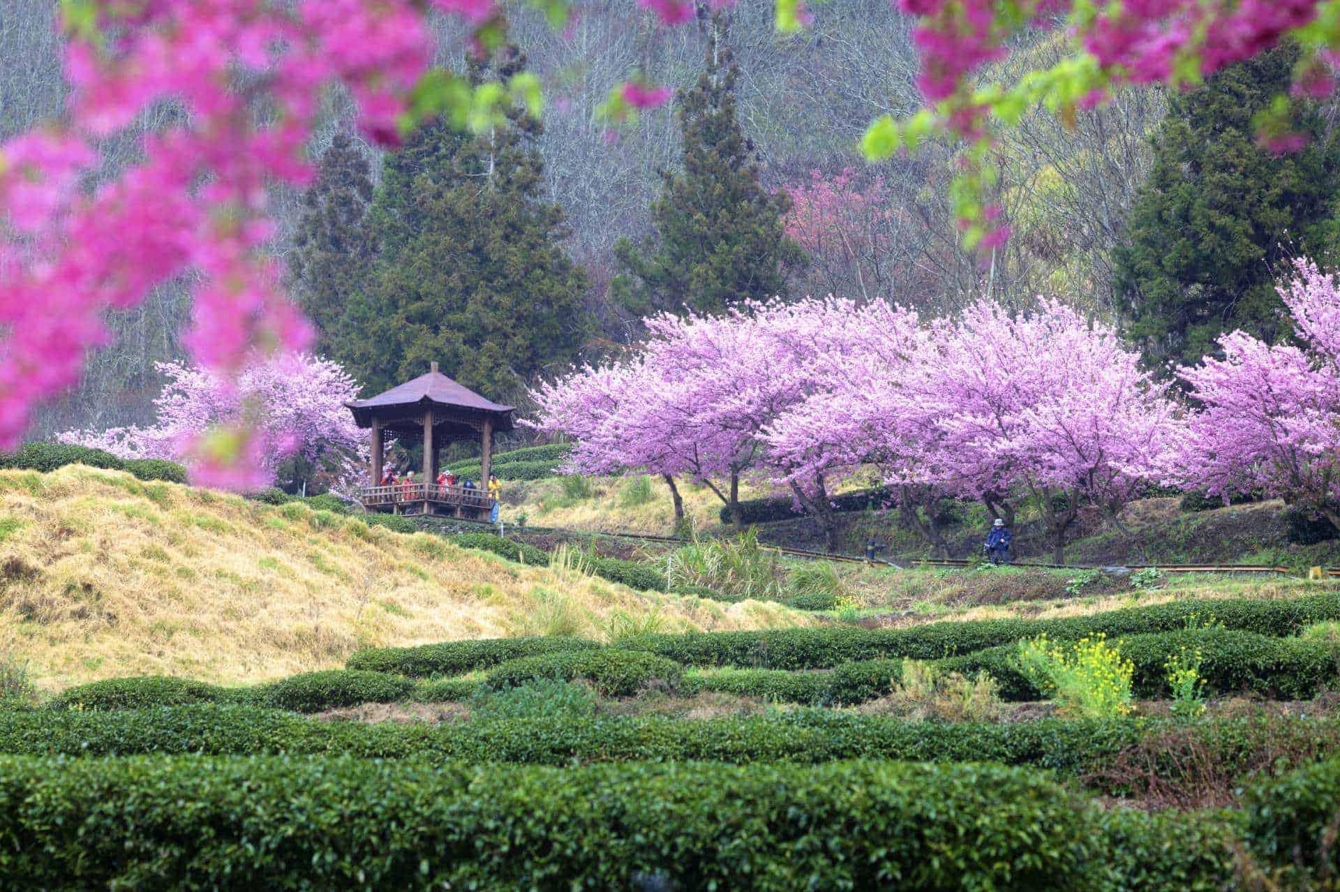 Wuling Farm Taiwan Sakura Garden
