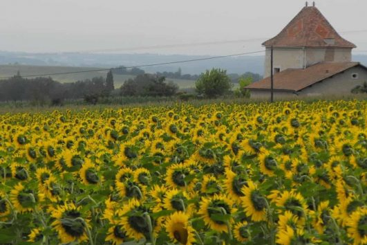 Sunflower Field, France