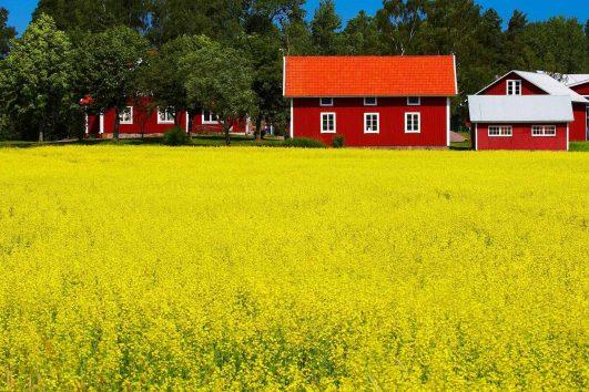 Yellow flower field in Sweden