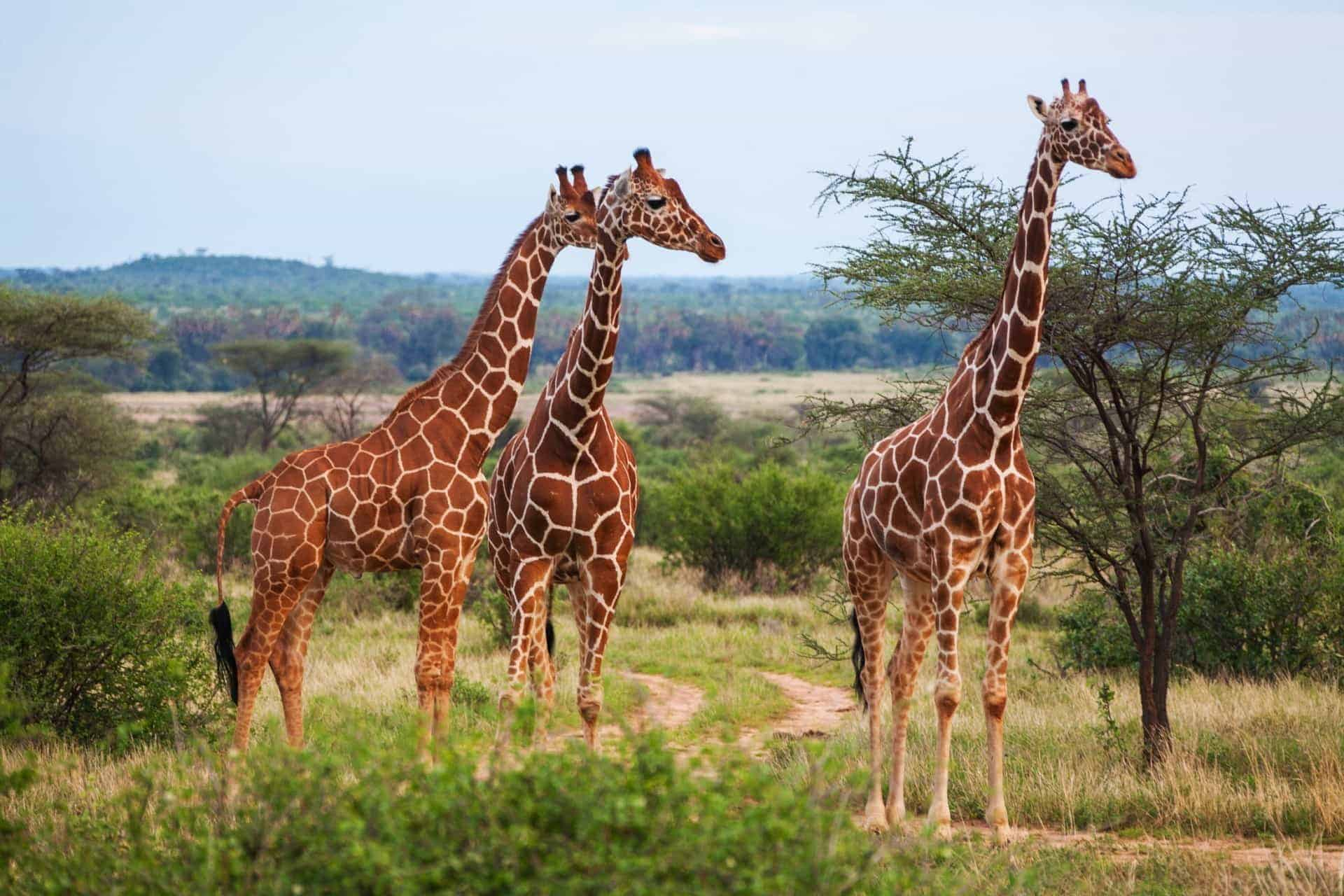 Giraffe among savanna in Africa -