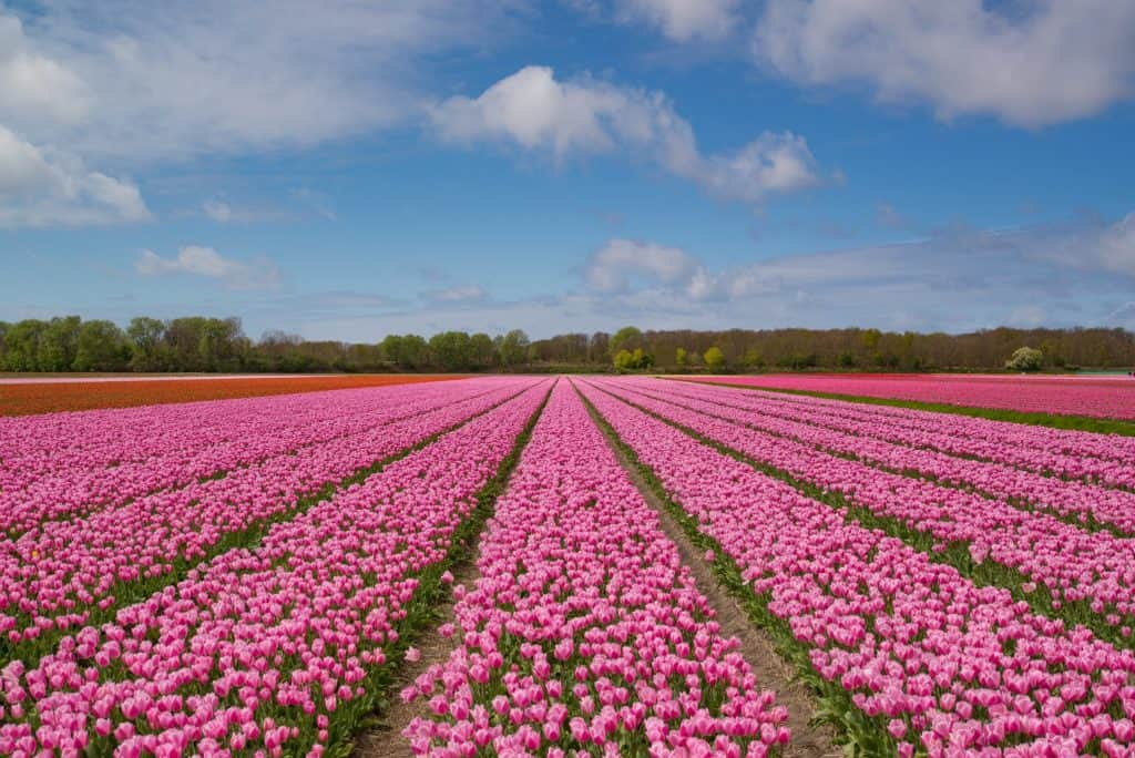 Tulip Fields - Netherlands small group tour