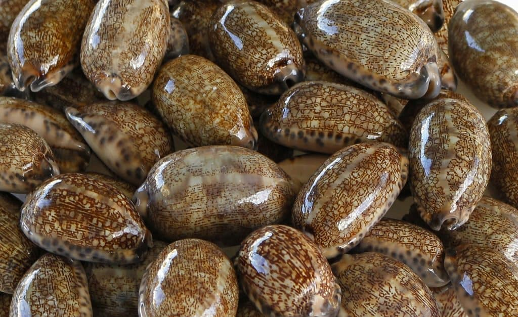 West Africa currency cowrie shells