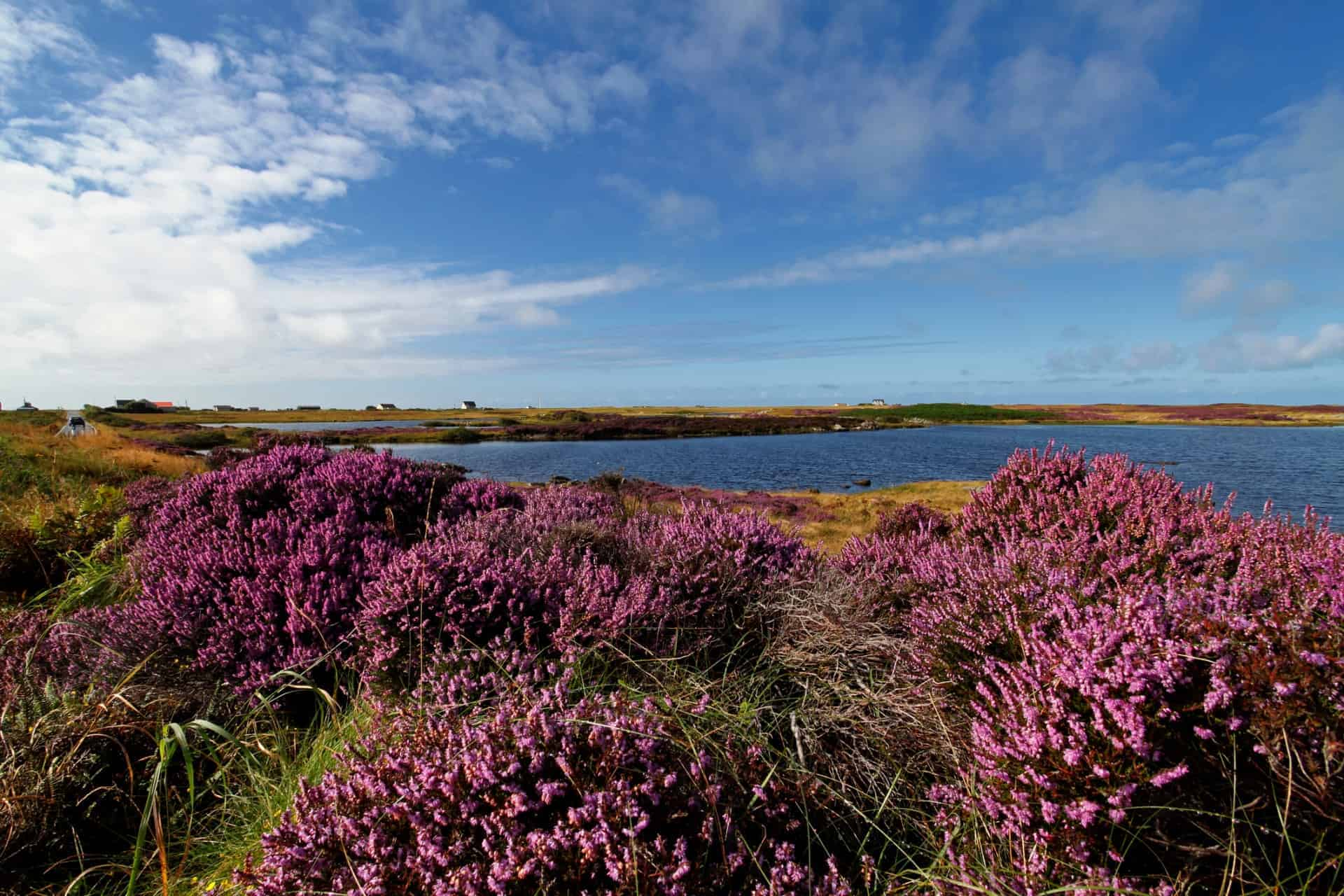 A heather field in Benbecula Outer Hebrides