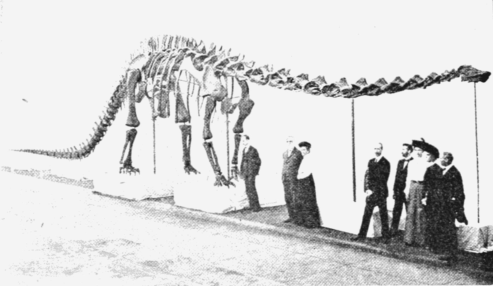 Diplodocus carnegiei