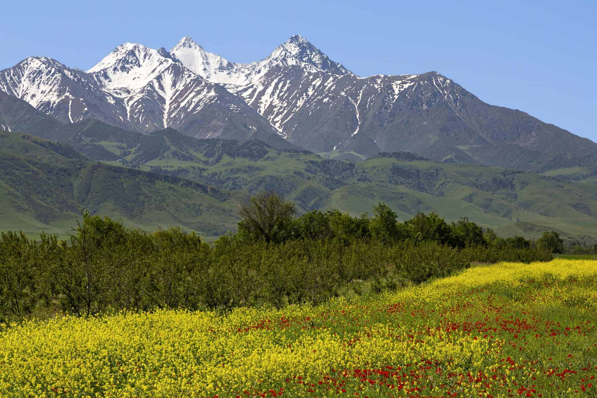 Spring flowers with a view of the Tien Shan Mountains Kyrgyzstan