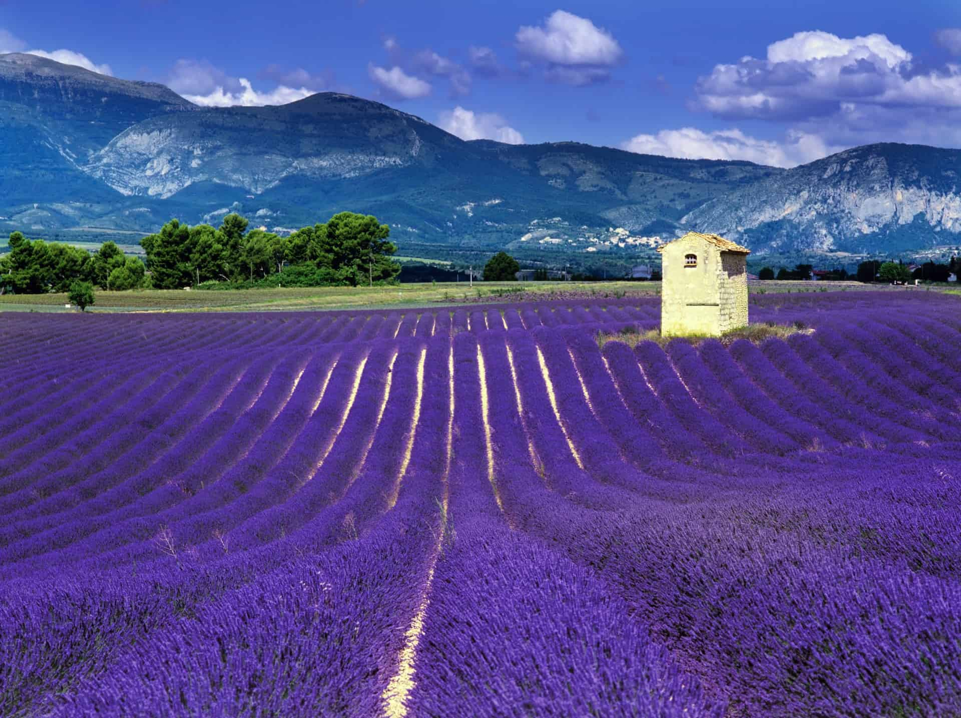 A field of lavender blooming in Provence, France