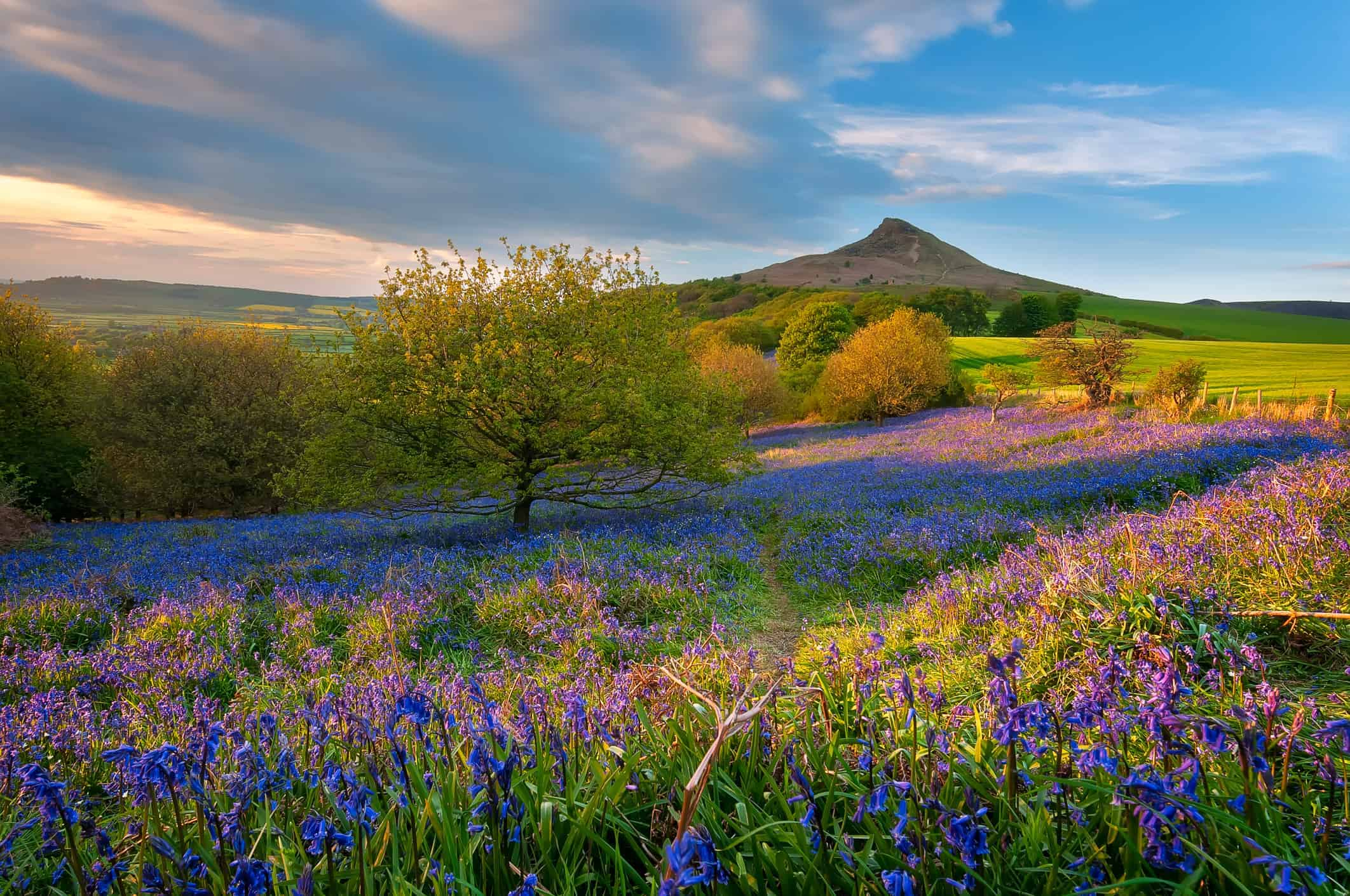 Bluebells in bloom in the North York Moors National Park