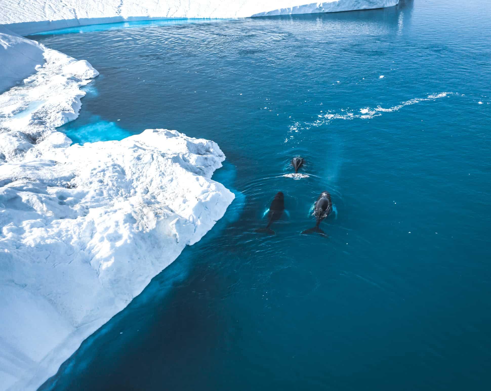 Humpback whales near Ilulissat among the icebergs