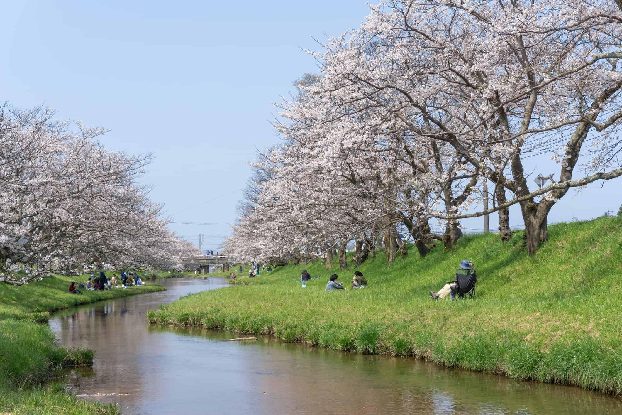 Sakura blooming at Tamayu Riverbank, Japan