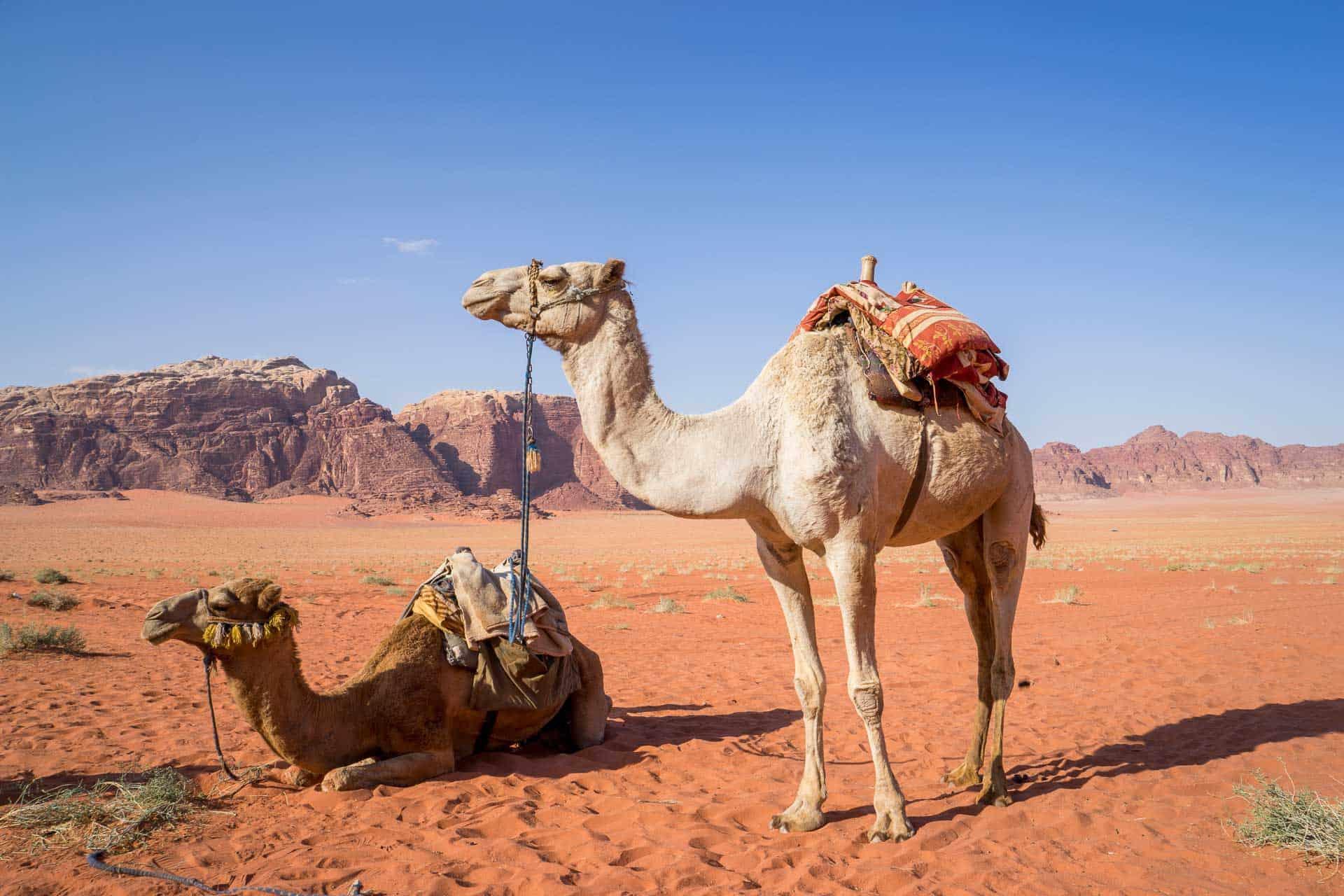 camel in wadi rum jordan