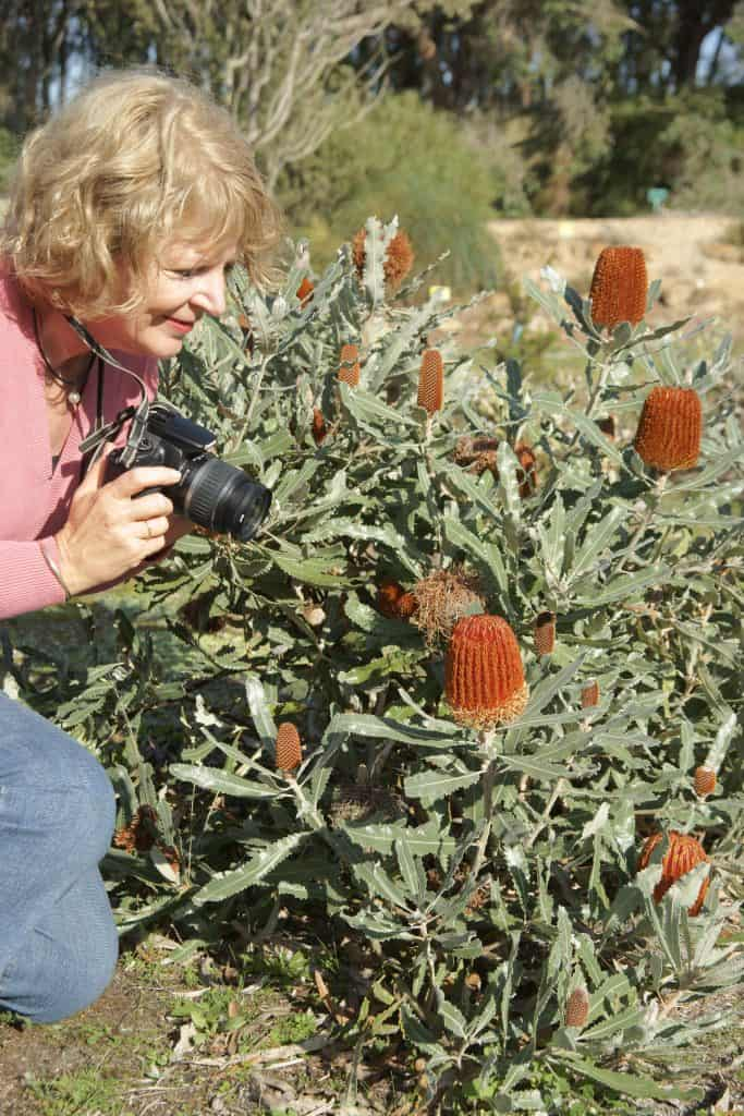 The rare bronze flowered form of the Banksia menziesii,