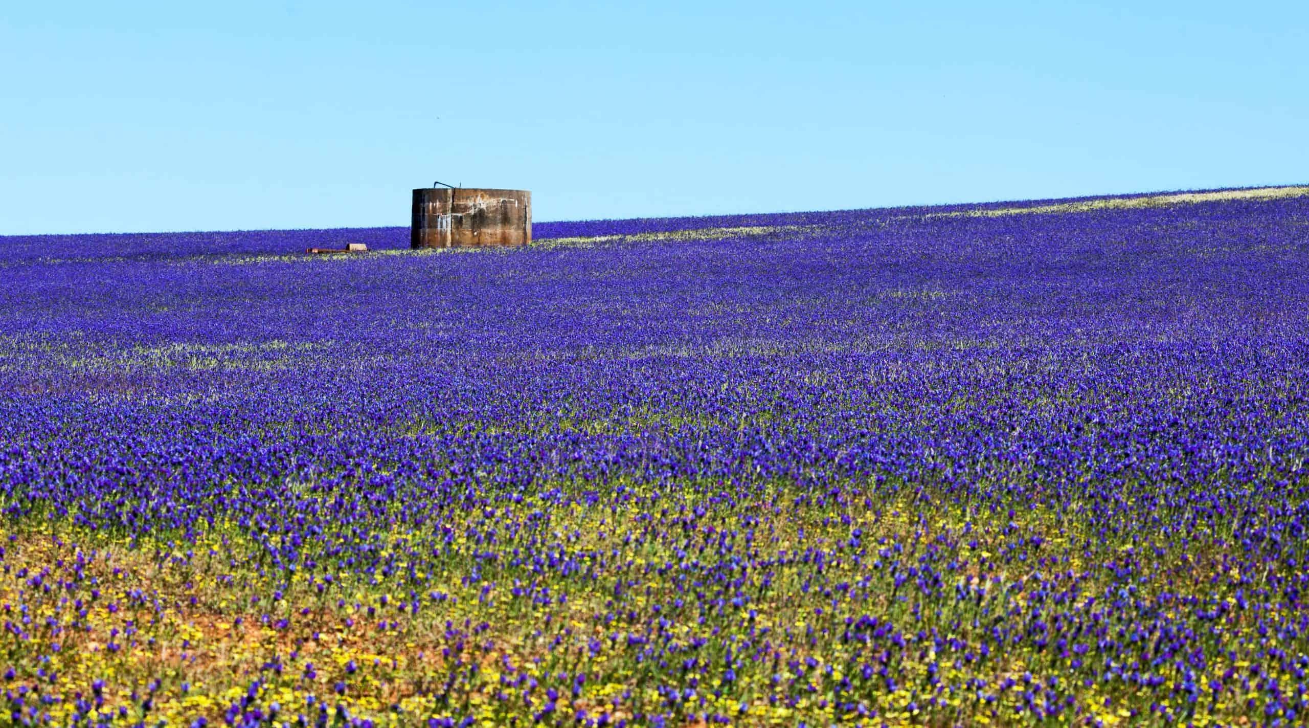 Blue Lechenaultia Wildflowers in Geraldton, Western Australia