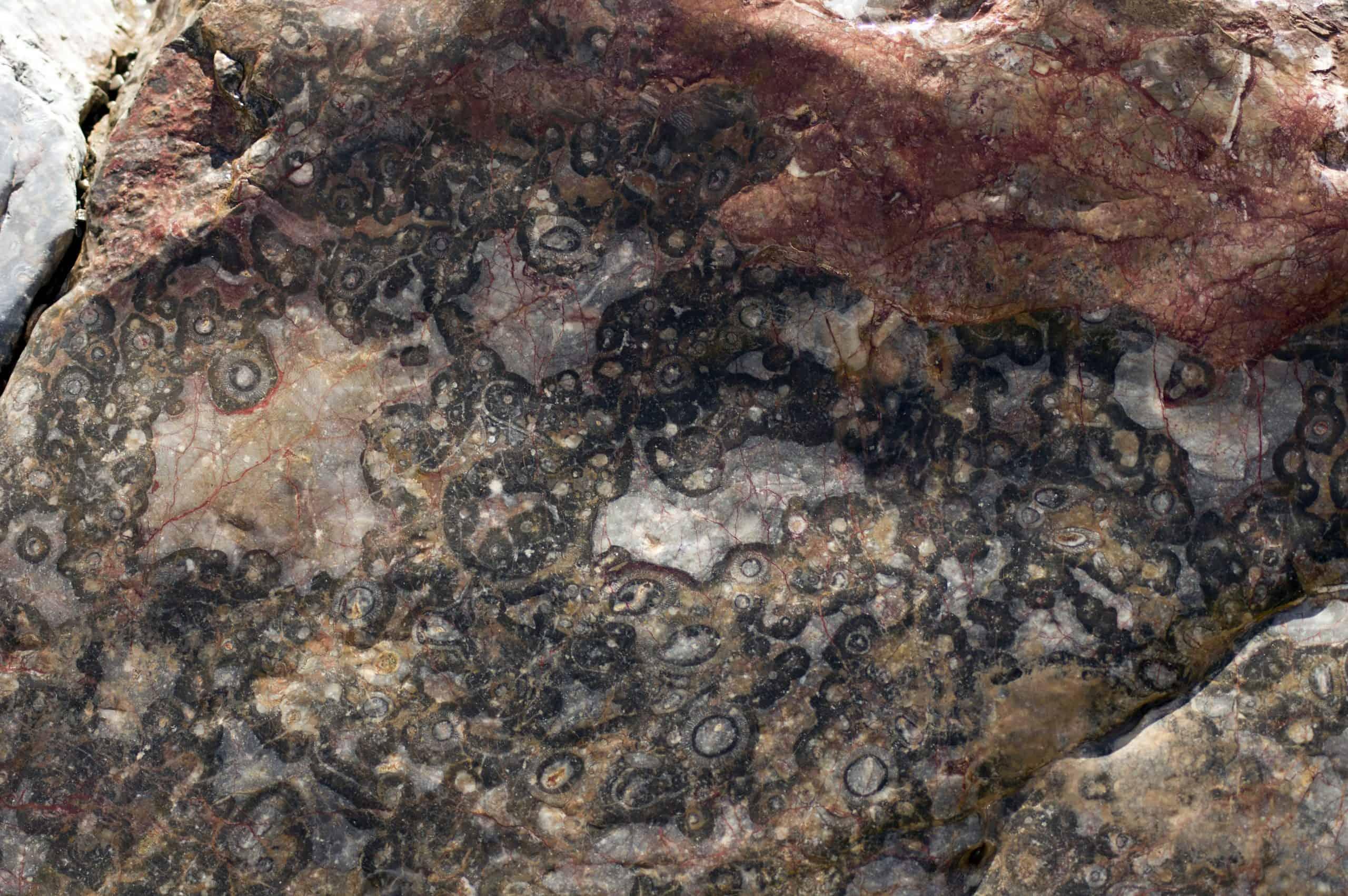 Fossils - Brachina Gorge