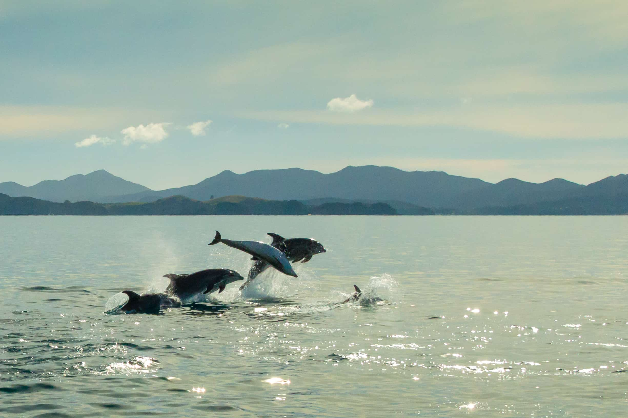 Bay of Islands - Dolphins