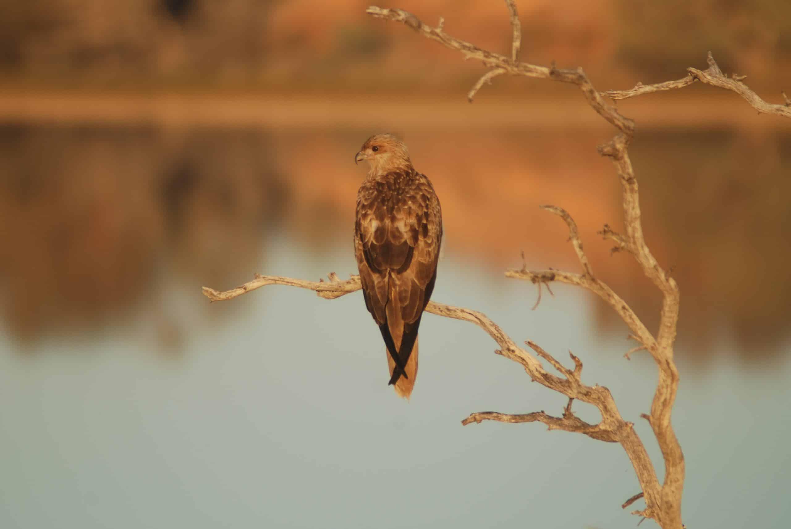 Bird - Coongie Lake