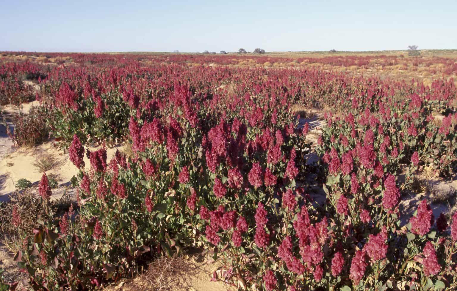 Outback blooms in the Strzelecki Desert
