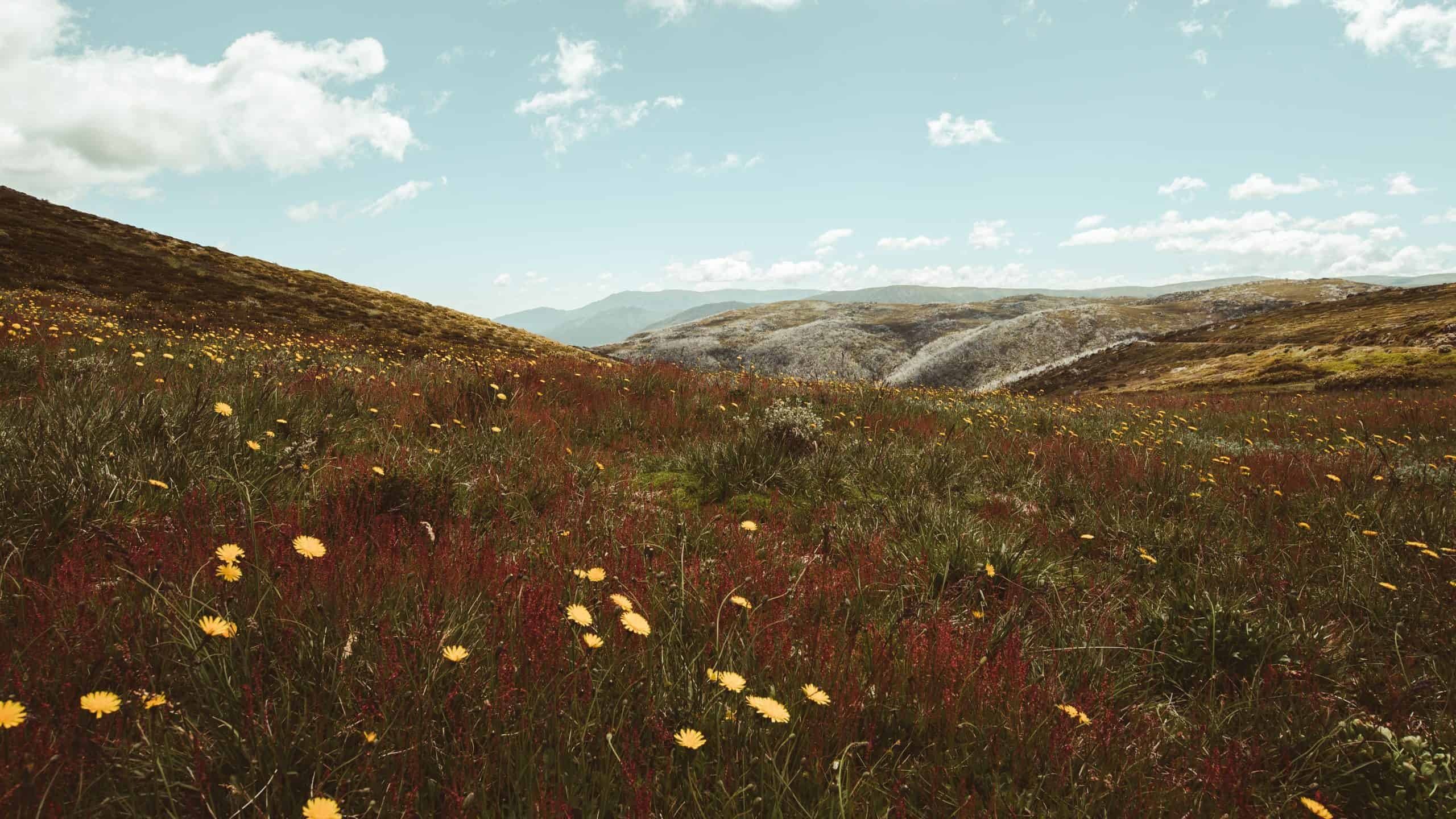 Wildflowers - high country