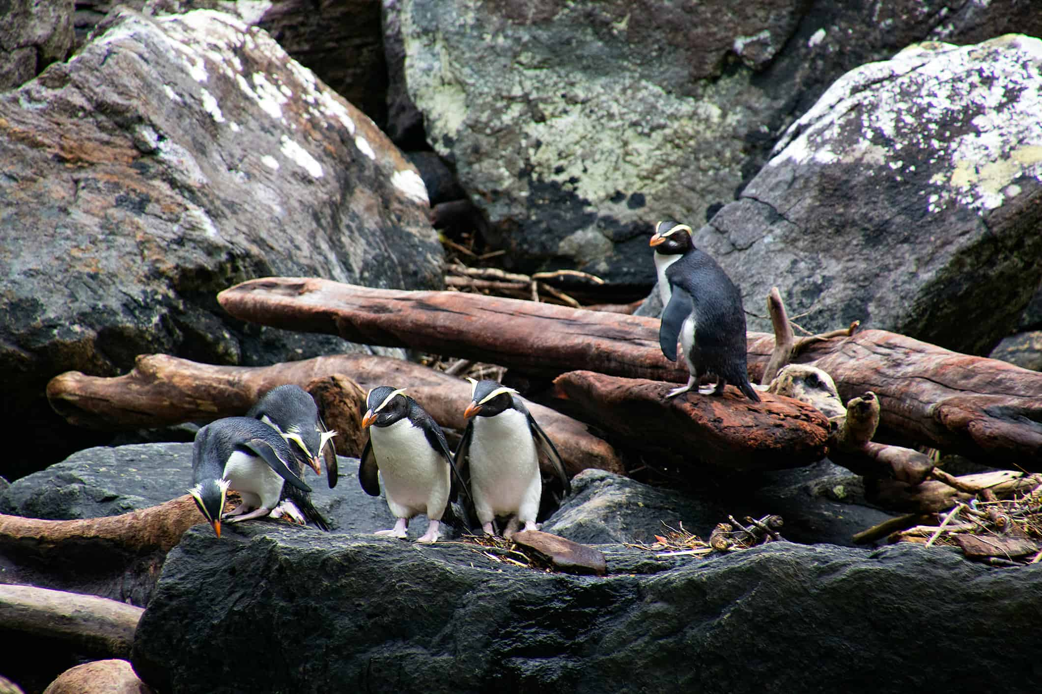 A group of fiordland crested penguins